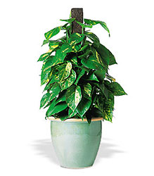 Vertical Pothos on Pole